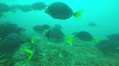 Yellowtail surgeonfish in Cabo Pulmo. Stock Footage