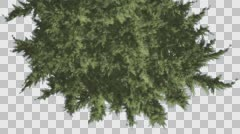 Hollywood Juniper Tree Top Down Branchy Tree Coniferous Evergreen Shrub is Stock Footage