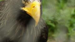 Stellers sea eagle Stock Footage