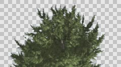 Hollywood Juniper Branchy Tree Crown Top of Tree Coniferous Evergreen Shrub is Stock Footage
