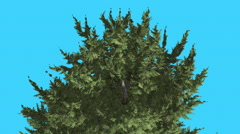 Hollywood Juniper Top of Tree Branches Coniferous Evergreen Shrub is Swaying at Stock Footage