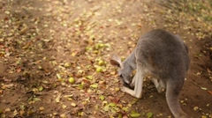 Red kangaroo (Macropus rufus) Stock Footage