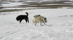 Pack of Huskies Stock Footage