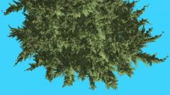 Hollywood Juniper Tree Crown Top Down Coniferous Evergreen Shrub is Swaying at Stock Footage
