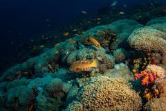 Coral grouper Stock Photos