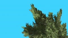 Hollywood Juniper Top of Curved Tree Coniferous Evergreen Shrub is Swaying at Stock Footage