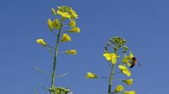 Bee on canola flowers Stock Footage