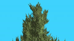 Hollywood Juniper Top of Tree Coniferous Evergreen Shrub is Swaying a Little at - stock footage