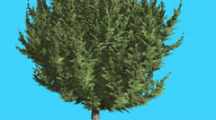 Hollywood Juniper Lower Branches of Tree Coniferous Evergreen Shrub is Swaying Stock Footage