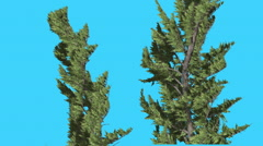 Hollywood Juniper Two Trees Strong Wind Coniferous Evergreen Shrubs are Swaying Stock Footage
