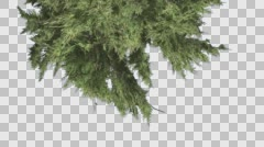 Hollywood Juniper Top Down is Swaying Coniferous Evergreen Shrub is Swaying at Stock Footage