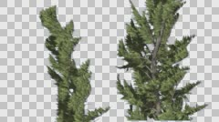Hollywood Juniper Two Trees Close Up Coniferous Evergreen Shrub is Swaying at Stock Footage