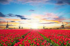 Vibrant tulips field with Dutch windmill - stock photo