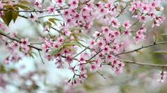 Wild Himalayan Cherry, Prunus cerasoides Stock Footage