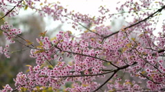 Stock Video Footage of Wild Himalayan Cherry, Prunus cerasoides