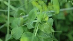 Green peas in garden Stock Footage
