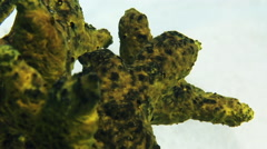 Green sea sponge coral in Bahamas. Close-up. Stock Footage