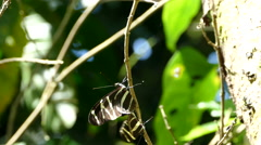 Mating butterflies in the forest of the Mombacho Volcano Nature Reserve Stock Footage