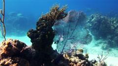 Sea fan, gorgonian coral in Bahamas reef. - stock footage
