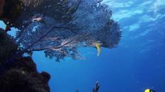 Sea fan, gorgonian coral in Bahamas reef. Stock Footage