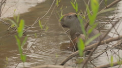 The capybara is the largest rodent in the world. Stock Footage