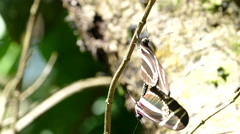 Close up from mating butterflies in the wind Stock Footage