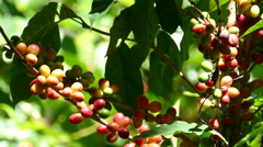 Growing Coffee Beans at Mombacho Volcano Nature Reserve Stock Footage