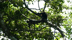 Howler monkeys chilling in a tree Stock Footage