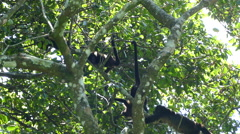 Howler monkeys hanging and jumping around in a tree Stock Footage