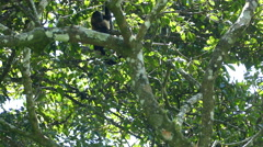 Howler monkeys playing and jumping around in a tree Stock Footage