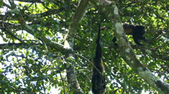 Three howler monkeys hanging and playing in a tree Stock Footage