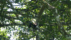 Howler monkeys hanging in a tree Stock Footage