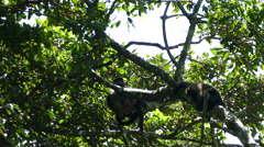 Howler monkeys hanging in a tree at the Mombacho Volcano Nature Reserve Stock Footage