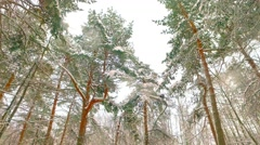 Tops of the trees in the winter forest. Tall pine trees stretch to the sky. Stock Footage