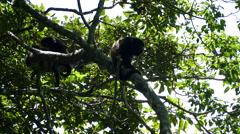 Howler monkeys sitting in a tree Stock Footage