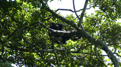 Howler monkey with here baby in a tree Stock Footage