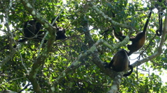 Big group howler monkeys in the forest Stock Footage