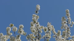 Spring has flourished cherry. Stock Footage
