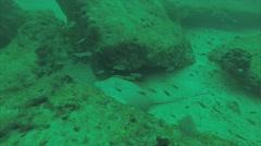 Diamond stingray (Dasyatis brevis) Stock Footage