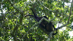 Howler monkeys fighting in the forest Stock Footage