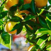 The orange tree Stock Photos