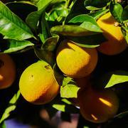 The orange tree - stock photo