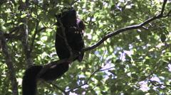A bearded monkey eating a banana. Stock Footage