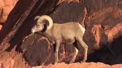 Desert Bighorn Sheep Ram Stock Footage