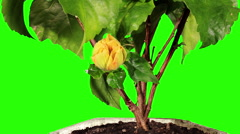 Blooming yellow Hibiscus flower buds green screen, (Hibiscus Valencia) Stock Footage