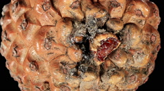 Disclosure of pine cones ALPHA matte, (Pinus L.) Stock Footage