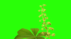 Blooming chestnut branches flower buds green screen (Castanea Mill.) Stock Footage
