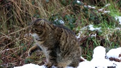Scottish Wildcat in Snow. Cleaning Itself. Sitting on Tree Of Covered in Snow. Stock Footage