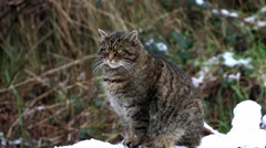 Scottish Wildcat in Snow, Sitting on Tree Of Covered in Snow. Stock Footage