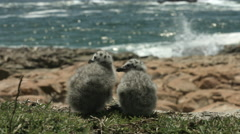 Close up of two seagull chicks Stock Footage
